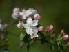 Omenapuu kukkii