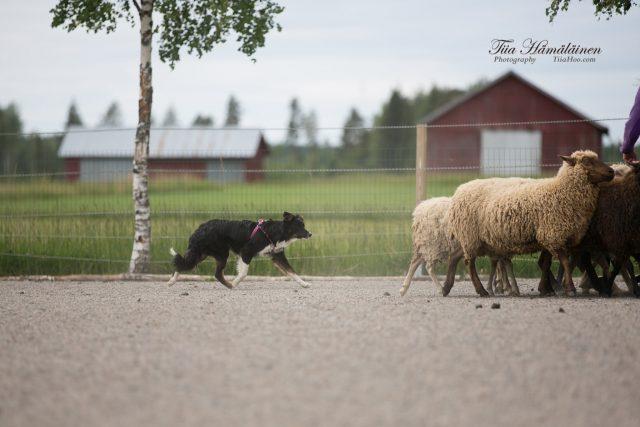 Disco lampailla. Kuva: Tiia Hämäläinen.